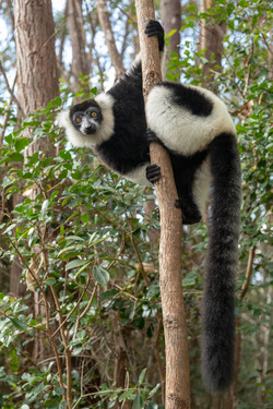 Black and white ruffed lemur Madagas
