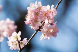 Florada da cerejeira -Sakura Matsuri