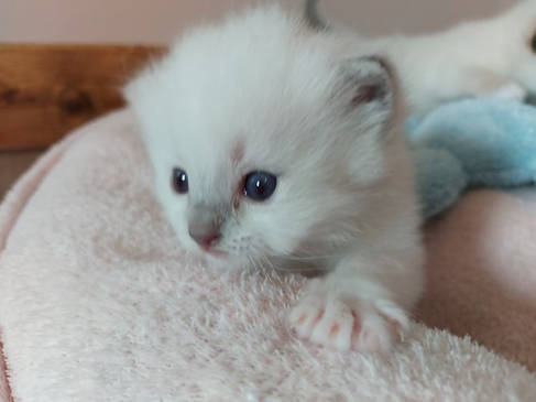 male lilac mitted.jpg
