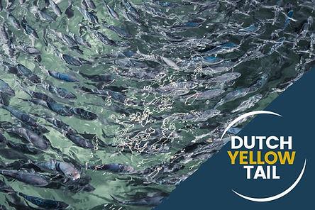Dutch-Yellowtail-Kingfish.jpg