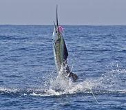 Рыбалка марлин парусник