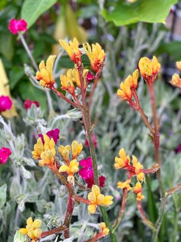 Red and Yellow Kangaroo Paw