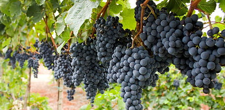 Red-Grapes-on-the-vine_edited.jpg
