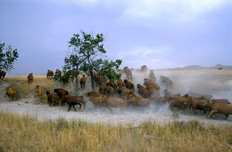 Vaches-Dakota.jpg