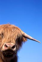 Vache-highland
