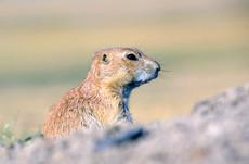chien-de-prairies