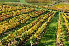 Beaujolais-vignes