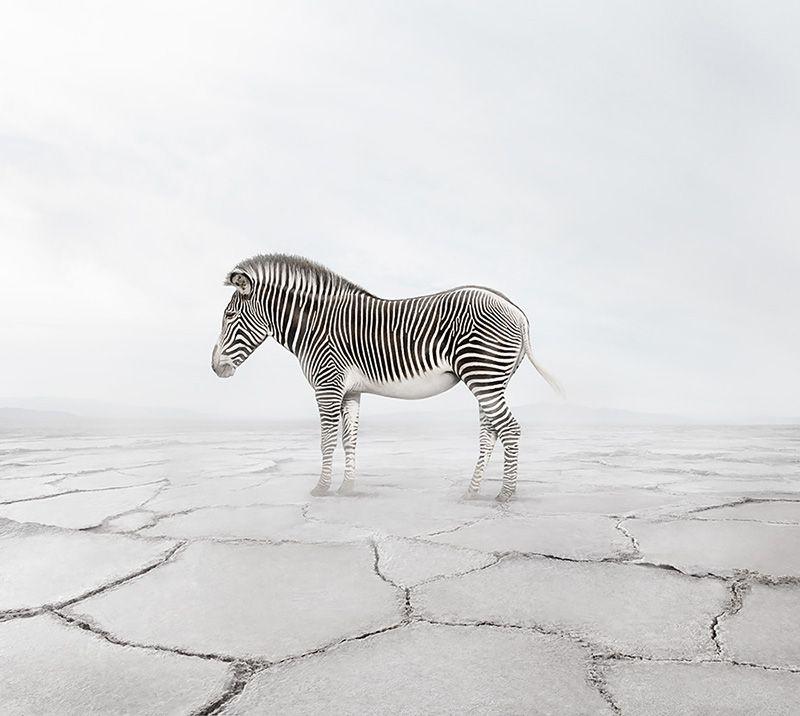 Zen Zebra, from the series Meditations 2019-2020 by Alice Zilberberg