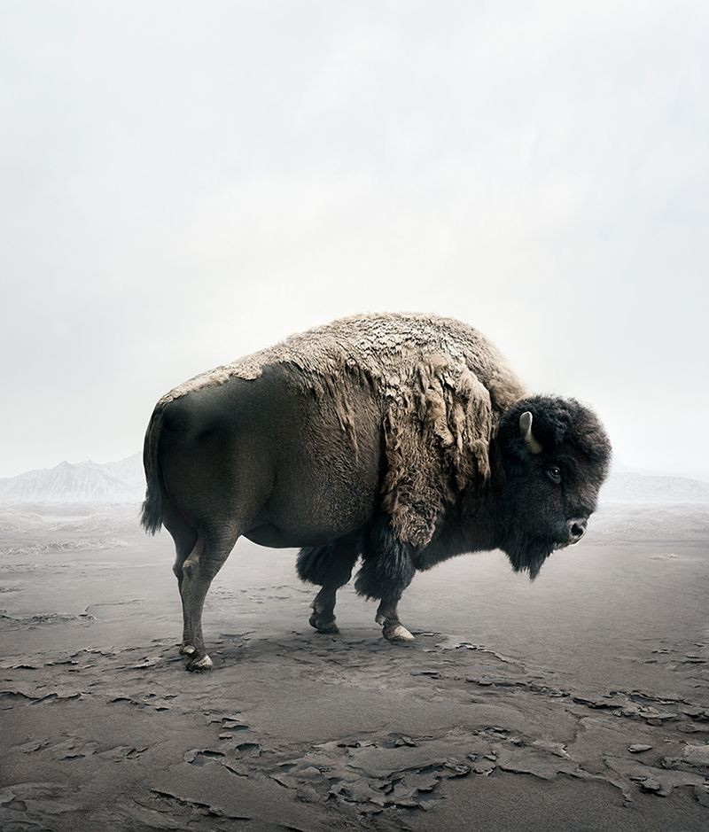 Be Here Bison, from the series Meditations 2019-2020 by Alice Zilberberg