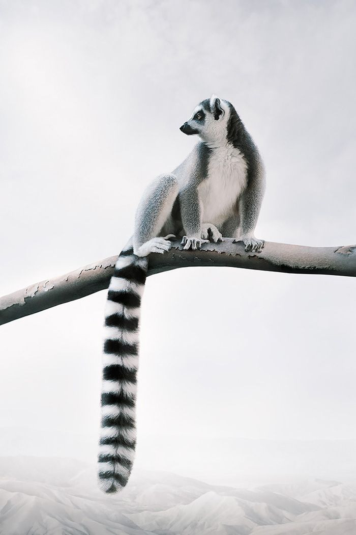 Laid-back Lemur, from the series Meditations 2019-2020 by Alice Zilberberg