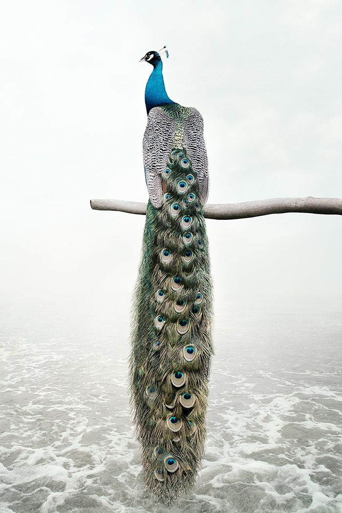Patience Peacock, from the series Meditations 2019-2020 by Alice Zilberberg