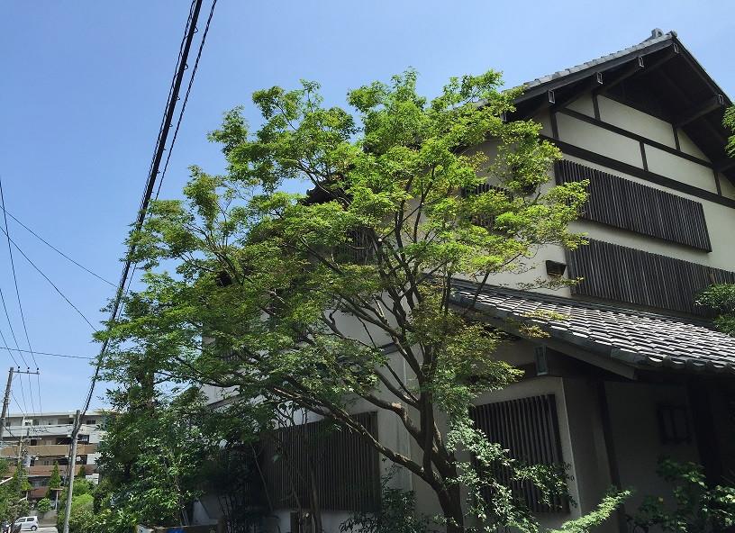 モミジの剪定(自然樹形)2