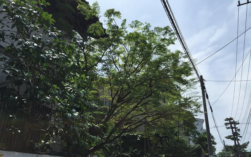 モミジの剪定(自然樹形)3