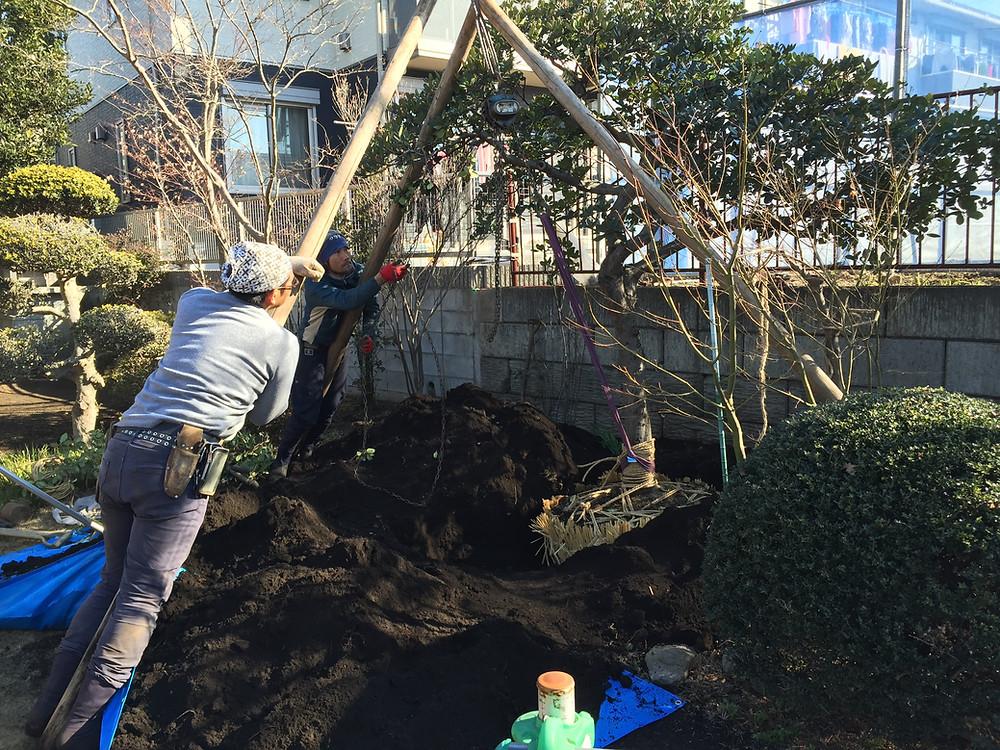 庭木の移植4