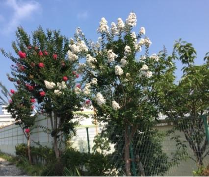 サルスベリ街路樹
