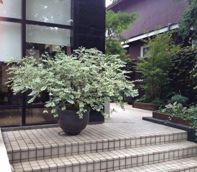 シルバープリペット植栽