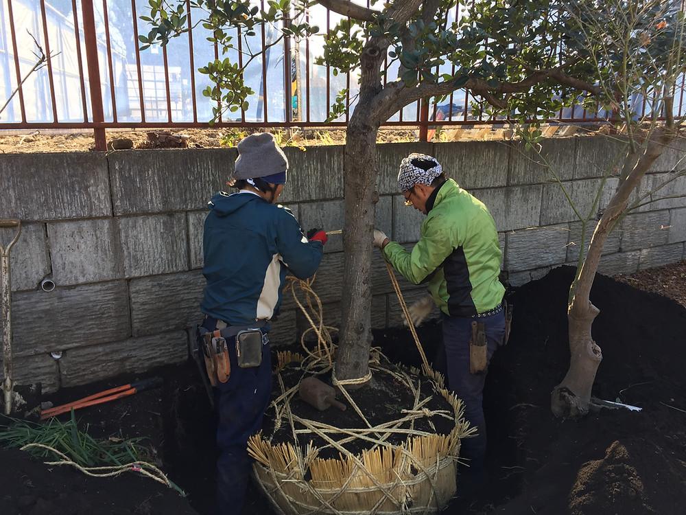 庭木の移植2