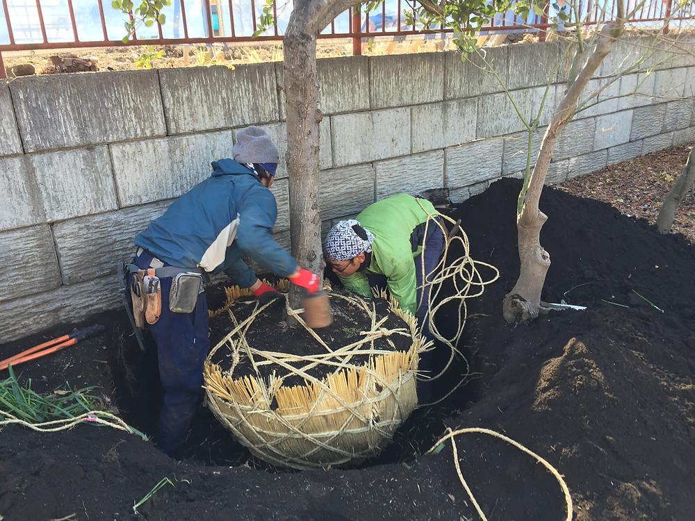 庭木の移植1