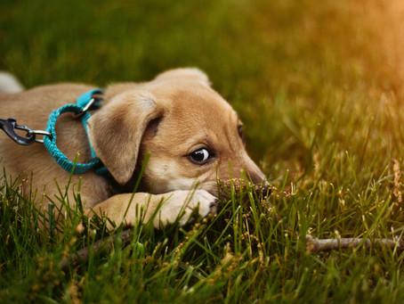 Pet Spring Allergies 101