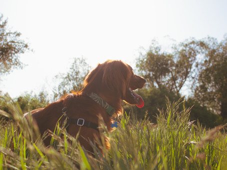 A Warning for Pet Owners About Foxtails