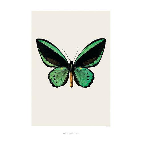 Hagedornhagen butterfly 1  (20*30) framed