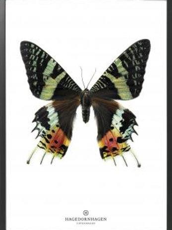Hagedornhagen poster Butterfly S14 (50*70 cm)