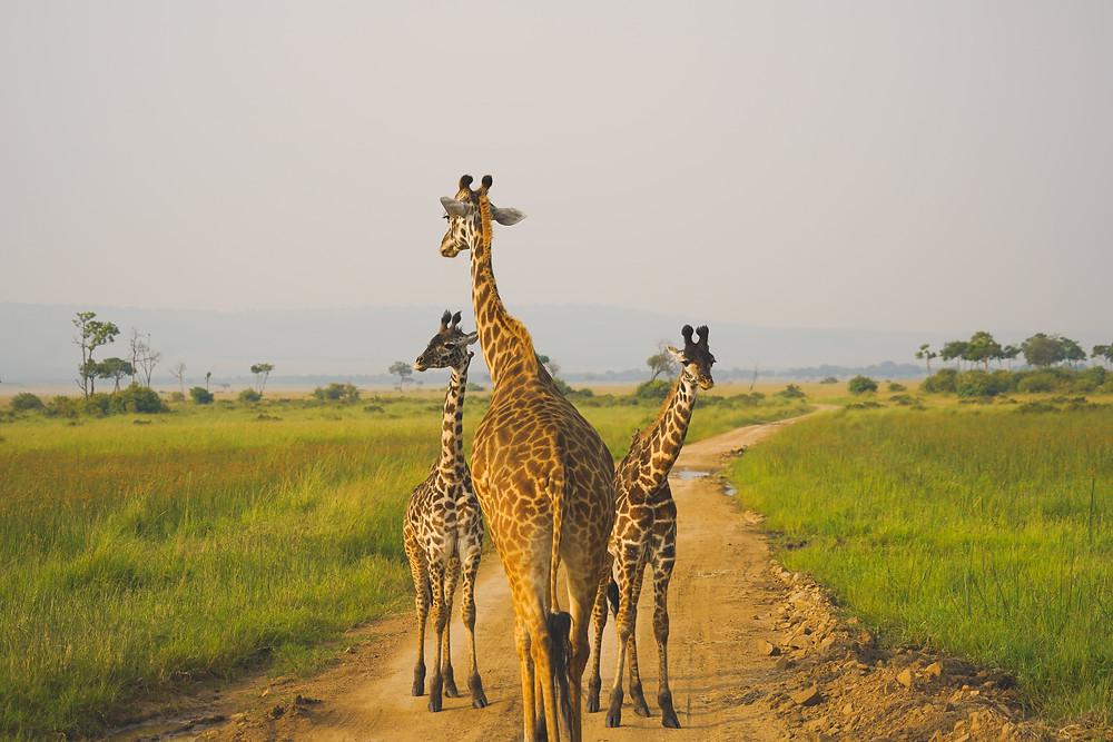 Masai Mara National Reserve, 肯尼亚