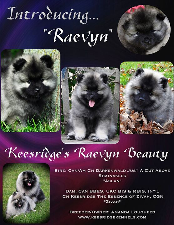 Raevyn's official introduction in the Keeshond Club of Canada newsletter _)