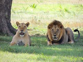 Lions - pride of the Savannah