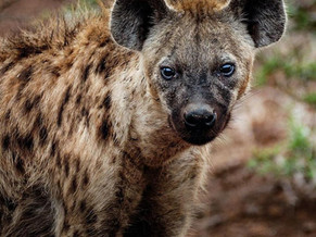 Hyenas - Whoops, Giggles and Groans