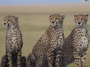 Cheetahs - Fast and Furious