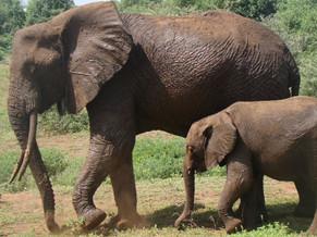 Elephants - The great ivory bearers