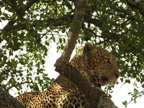 Leopards - The tree dwellers