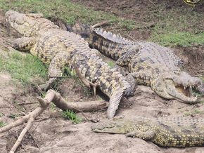 Crocodiles - Masters of the Death Roll