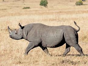 Rhinos - The rare beauty.