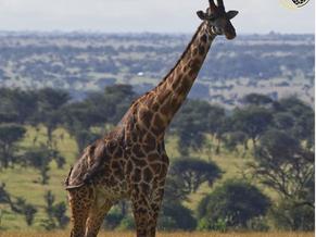 Giraffes - A Journey of the Tallest