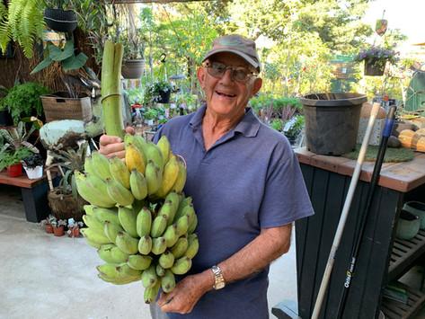 Sunshine Coast Lady Finger Bananas
