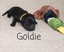 Goldie.jpg