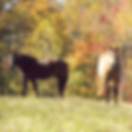 Two of the equines used in animal assisted therapy at Montvale look up from grazing