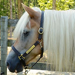Buttercup, a Haflinger therapy horse
