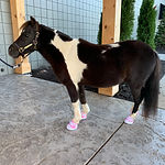 Mouse, a miniature therapy horse