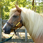 Buttons, a Haflinger therapy horse