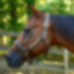 Catty a Quarter Horse Therapy horse