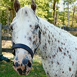 Nickel, a Pony of the Americas therapy horse