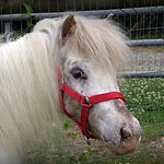 Cameo, a Miniature Therapy Horse