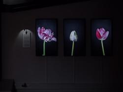 Myriad Tulips © Stokk Studio