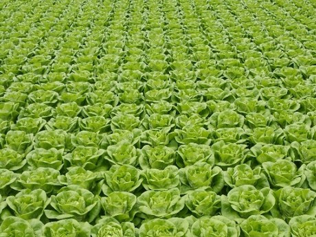 The Netherlands: Big in small greenhouse vegetables
