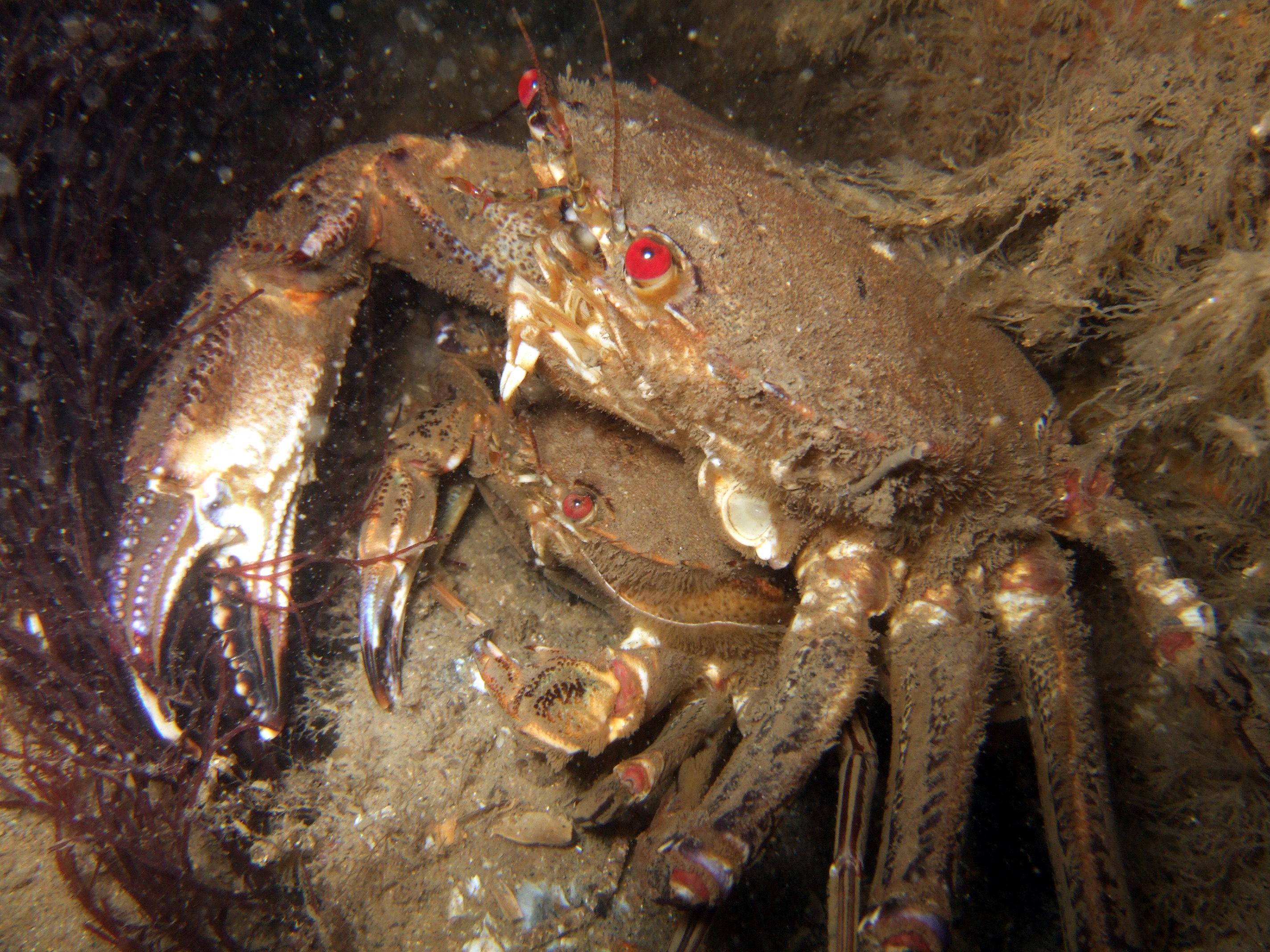 Velvet Swimming Crabs Mating 230708