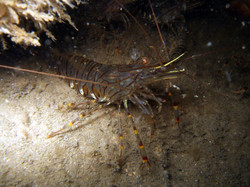 Common Prawn-Strombus