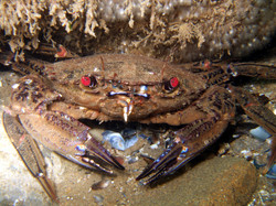 Velvet Swimming Crab-Pwll-Du 130708